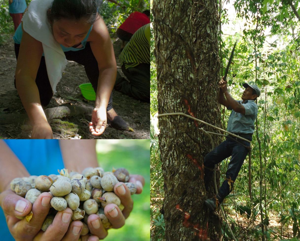 Acofop-Peten-Guatemala-Manejo Forestal Comunitario