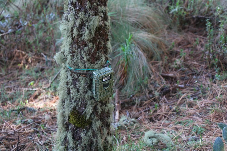 Archivo CCMSS-fototrampeo-fototrampas bosque cofre de perote mexico