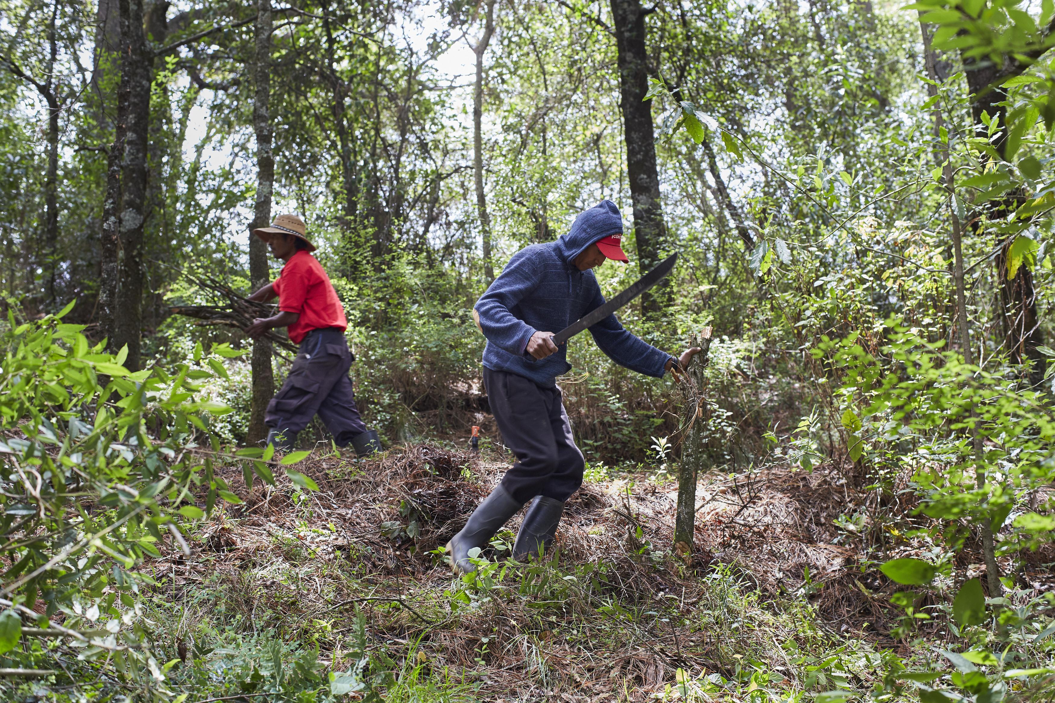 Actividades de aclareo y poda del bosque en Amanalco, Estado de México. Las labores de aclareo, poda y chaponeo permiten que el bosque crezca con más vigor y se mantenga en buen estado. Foto: Prometeo Lucero